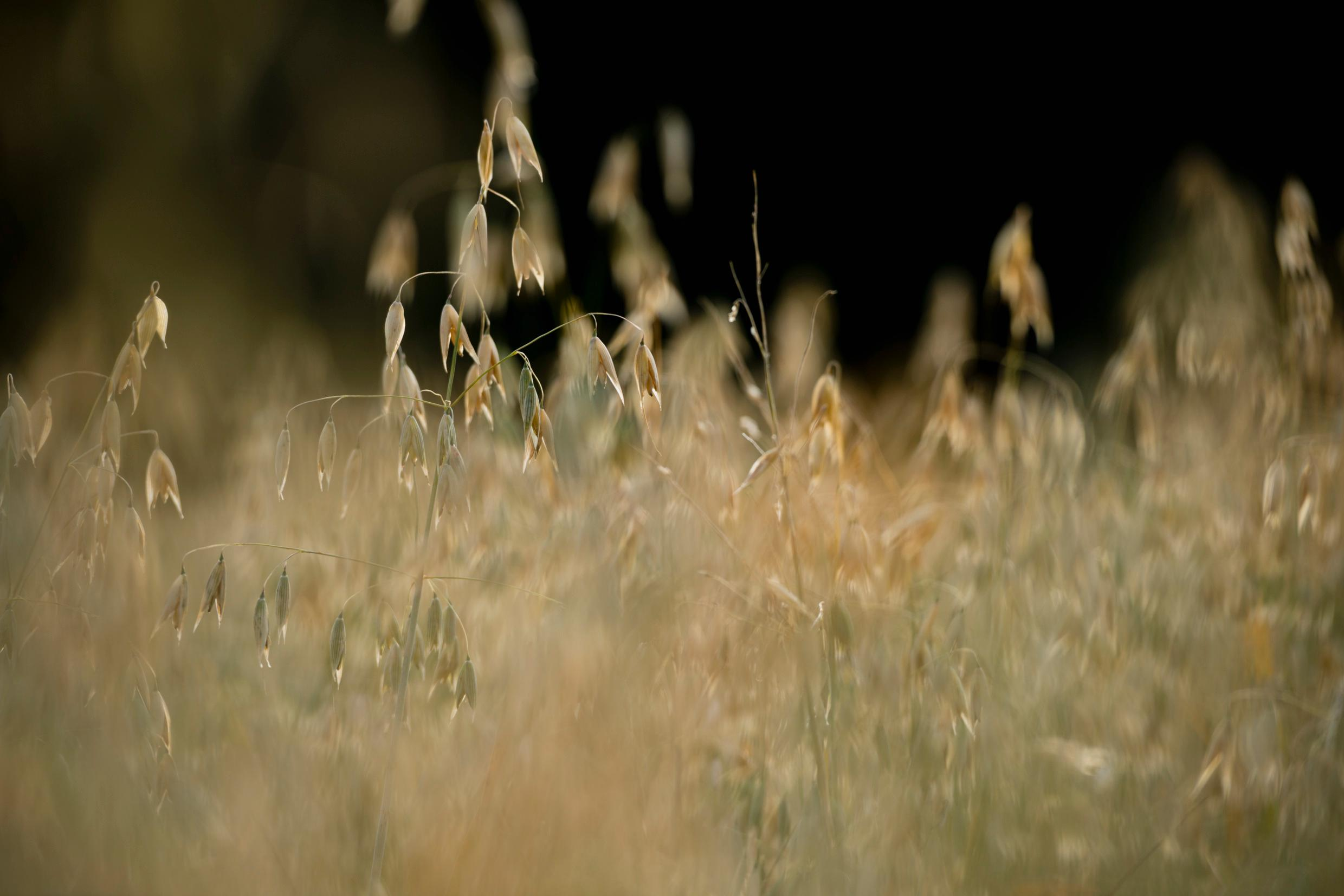 A close-up of oats in a field.