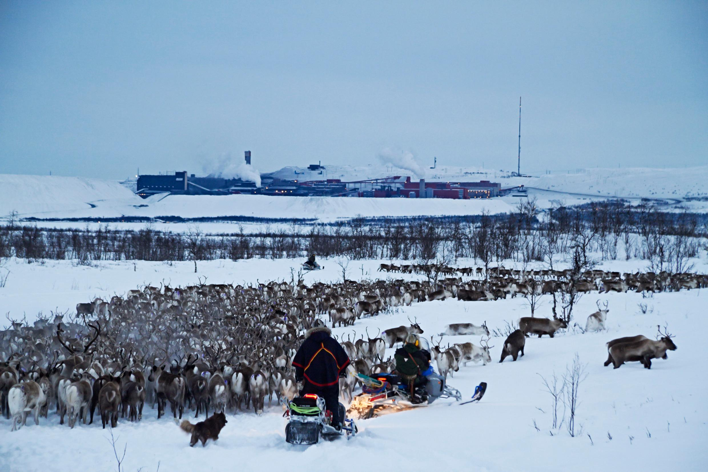 A large herd of reindeer being herded by two people on snowmobiles.
